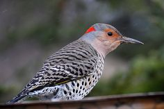 Northern Flicker.  I used to attract Northern Flickers into my backyard in Spokane, WA.  They were one of my favorites.