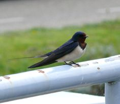 Swallow - Zwaluw, made by © Alie Hoogenboezem-de Vries