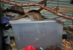 DIY Rat Digging Box - PetDIYs.com I like the small opening idea, it keeps the mess in!