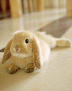 Floppy eared bunny...omfg how cute!!!!!!!