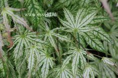 Acer palmatum 'First Ghost'