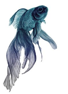 20 Types of Goldfish for Aquarium (Oranda, Shubunkin, Bubble Eye, Etc) Fish Drawings, Art Drawings, Beta Fish Drawing, Cute Creatures, Sea Creatures, Nz Art, Colorful Fish, Tropical Fish, Beautiful Fish