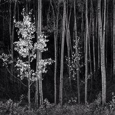 My fav Ansel Adams. Aspen trees