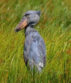 Shoebill.  A really unique bird from Uganda.// I love love love birds, but this is the kind that sort of freaks me out.  That BILL!!