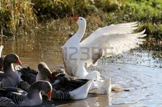 snow goose: Beautiful white snow goose showing feathes of wings