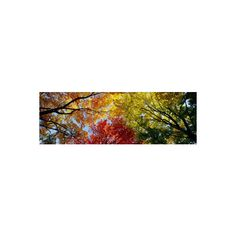 Colorful Trees in Fall, Autumn, Low Angle View Photographic Wall Art... ($33) ❤ liked on Polyvore featuring home, home decor, wall art, forests, landscapes, natural landscapes, subjects, landscape wall art, autumn tree wall art and autumn trees