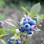 kompostový čaj pre kyslú pôdu Blueberry, Gardening, Fruit, Plants, Food, Berry, Lawn And Garden, Essen, Meals