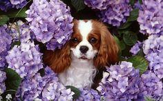Purple anima;s | flowers animals dogs purple flowers king charles spaniel wallpaper ...