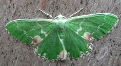 1000+ images about Moths and Butterflies on Pinterest | Moth ...