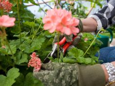 How to Prune and Deadhead Your Geraniums >> http://www.diynetwork.com/how-to/outdoors/gardening/prune-and-deadhead-your-geraniums?soc=pinterest