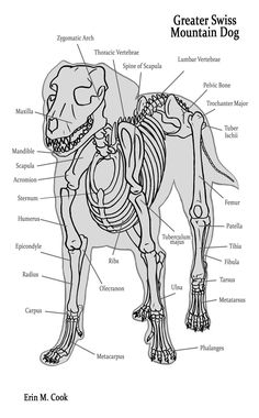 Another animal anatomy chart, this time of a doggie and in 3/4 view! I HATE 3/4 VIEW! D:< at least for this, getting good ref is hard! I need to learn the shape of the bones in the spine better....