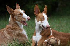 ibizan hound photo | Ibizan hound dog photos Dog Photos Collections – dog-photos.net