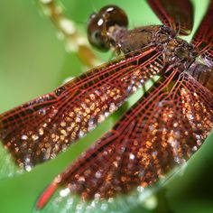 dragonfly- beautiful wings