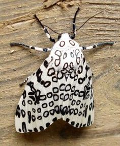 Giant Leopard Moth Pictures