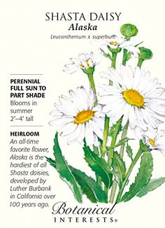 Alaska Shasta Daisy Seeds – 250 mg – Perennial - Perennials Planting Bulbs, Planting Flowers, African Iris, House Plant Delivery, House Plants For Sale, Shasta Daisies, Full Sun Perennials, Flower Meanings, Growing Seeds