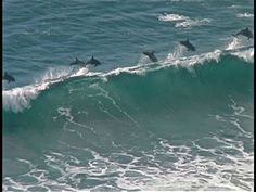 Dolphins surfing in San Francisco