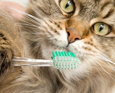 Approximately two-thirds of cats over three years of age have some degree of dental disease. We can help you keep your cat's teeth and mouth healthy. Call us at Animal Medical Clinic to find out how.