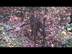 Whitetail Buck Grunting - YouTube   We can learn how to grunt from this fellow , however what does this grunting mean ?