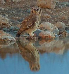 Giant Eagle Owl / Verreaux's Eagle Owl (Bubo lacteus), Okaukuejo, Etosha National Park, Namibia (photo: Yathin S. Owl Photos, Owl Pictures, Owl Bird, Pet Birds, Eurasian Eagle Owl, Giant Eagle, Beautiful Owl, Simply Beautiful, Wise Owl