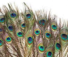 X1964 PIÓRA PIÓRKA PAWIE NATURALNE PAW 30cm 1szt Peacock, Bird, Animals, Animales, Animaux, Peacock Bird, Birds, Peacocks, Animal