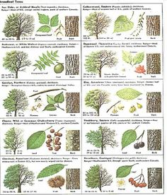 Identify trees with pictures - I like that this includes several views, including the bark of trees, leaves leaf chart Trees And Shrubs, Trees To Plant, Conifer Trees, Garden Trees, Garden Plants, Tree Identification, Tree Study, Outdoor Learning, Forest School