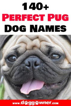 Pugs are amazing and adorable dogs that fun to be around. Now that you have a Pug it is time that you get them the perfect name. Here are 140+ perfect pug dog names.