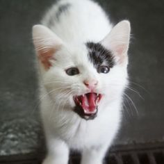 Cats clean their teeth with meat!