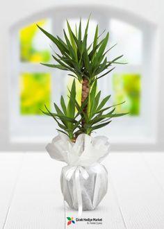 Üçlü yuca saksı bitkisi ile sevdiklerinizin ya da kendinizin iş yeri, ofis ya da evlerinize şıklık ve tazelik katın. Nemli ortamları seven bu saksı çiçeği aynı zamanda yeterli güneş ışığı da almalıdır. bu yapraklarının gelişimi için önemlidir. Ancak güneş ışığını direk olarak almamalıdır. İlk bahar ve yaz aylarında bolca sulanmalıdır. ciceksepetimarket.com