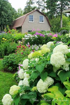 Summer Garden Tour from Aiken House & Gardens | We have lots of these Annabelle hydrangea in the garden as they are easy to care for and put out suckers that can be severed and moved around the garden-love free plants!