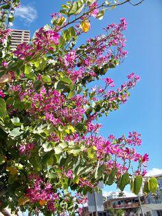Hong Kong Orchid Tree Bauhinia | ... Flowers: Photos of The Hong Kong Orchid Tree, Bauhinia blakeana