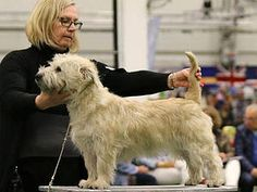 Glen of Imaal Terrier. Glen Of Imaal Terrier, Fox Terrier, Terriers, English Springer Spaniel, West Highland White, American Staffordshire, Dog Show, Yorkie, Doggies