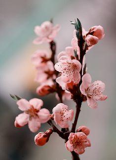 Sakura Wallpaper, Flower Phone Wallpaper, Most Beautiful Flowers, Pretty Flowers, Pink Flowers, Apricot Blossom, Cherry Blossom Flowers, Good Morning Flowers, Flower Aesthetic