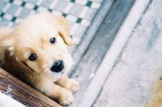 There's something about those puppy eyes. 28 Pictures Of Golden Retriever Puppies That Will Brighten Your Day Cute Puppies, Cute Dogs, Dogs And Puppies, Doggies, Baby Dogs, Golden Retrievers, Baby Animals, Cute Animals, Cute Dog Photos