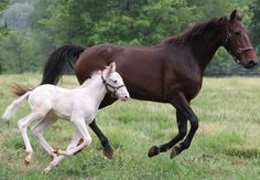 In this photo taken at Fair Winds Farm in Cream Ridge, New Jersey, on May 22, 2012 and provided by the U.S. Trotting Association shows a yet to be named colt; a 200,000 – 1 longshot – a white Standardbred racehorse from a bay (reddish brown) father named Art Major and a bay mother named Coochie Mama. DNA testing has verified the parentage. There hasn't been a white Standardbred born in North America in 14 years; that one, named Historicallyunique, was born in Ontario. Photo: U.S. Trotting…