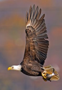 Bald Eagle in flight. We have had eagles drop salmon on our porch in the past as the they fly to the trees from the Russian River to eat their catch.: