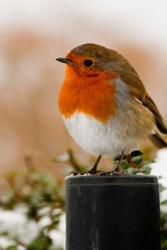 Robin - Erithacus rubecula by Ludi Lochner - I think I'm probably going to be a bird watcher as I grow older