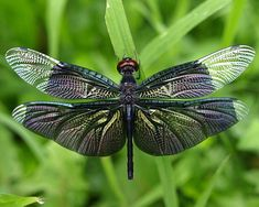 DRAGONFLY - wings that can only by created by the hand of God...x