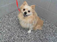 #A475554 Release date 11/14 I am a male, brown Pomeranian mix. Shelter staff think I am about 3 years old. I have been at the shelter since Nov 07, 2014.  San Bernardino City Animal Control 333 Chandler Place San Bernardino, CA 92408 Phone Number: (909) 384-1304 https://www.facebook.com/photo.php?fbid=10203908474769831&set=a.10203202186593068&type=3&theater