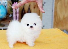 White Micro Teacup Pomeranian Gender: Girl Name: April