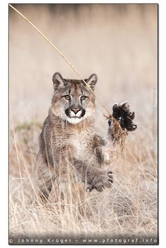 charging mountain lion by Johnny Krüger on 500px