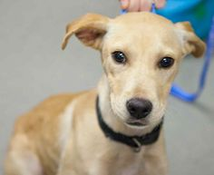 Lake is a sweet 5 month old yellow lab mix. As a puppy, Lake will need lots of exercise, playtime, and cuddle sessions! For more information, visit https://toolkit.rescuegroups.org/javascript/v2.0/template1?animalID=7705764&key=Mqr6gy1W