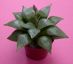 Haworthia comptoniana in 6,5 cm pot
