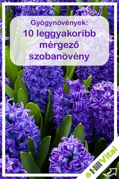 10 leggyakoribb mérgező szobanövény, amiről eddig talán nem is tudtál Cabbage, Vegetables, Plants, Gardening, Food, Veggies, Lawn And Garden, Vegetable Recipes, Meals