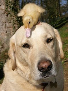 Labrador takes orphaned duckling under his wing