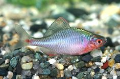 Rosy Bitterling ** (Rhodeus ocellatus) ** Temperate Fish