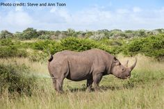 Scent marking is a crucial method of communication for black rhinos as rhinos have extremely poor eyesight and often live solitary. Urine spraying is a common form of scent marking, as are dung piles, known as 'middens'