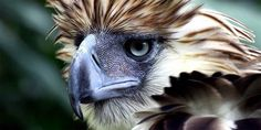 Philippine eagle – the largest eagle in the world