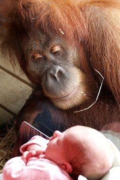 Orangutan fascinated by a newborn baby at the Melbourne Zoo.