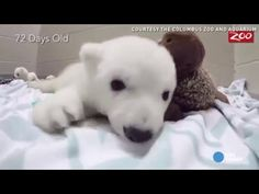 An adorable time-lapsed video of a baby polar bear shows the stages of her growing up. Shared by International Modern School Sayed Galal, Egypt www.IMSSG.net