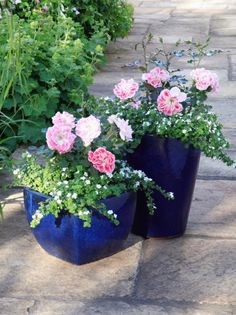 Stone Patio Pink Roses in Blue Containers